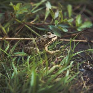 Le bloodfrog