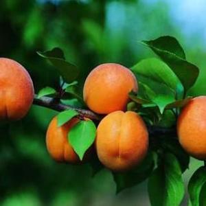 pêche abricot passionnée